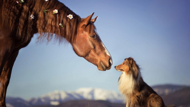 Brown Horse Is Standing Near Border Collie Dog HD Animals Wallpaper