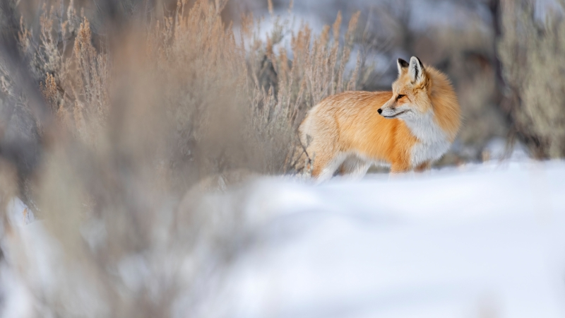 Brown White Fox Is Standing On Snow In Dry Grass Background 4K 5K HD Fox Wallpaper