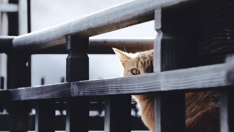 Cat Is Standing Near Wood Fence HD Cat Wallpaper
