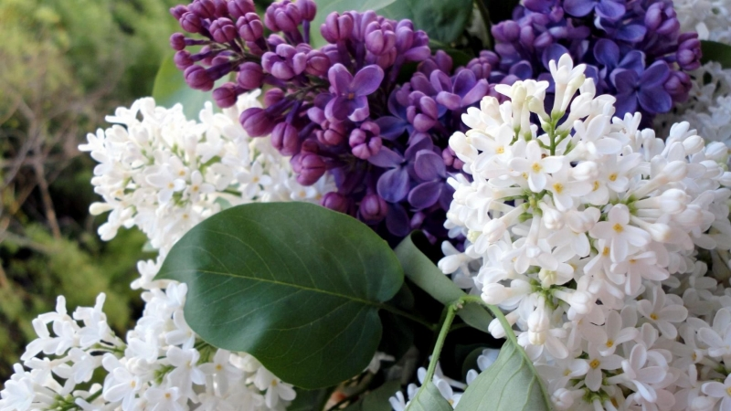 Closeup Lilac Flowering Branches Spring Flower HD Flowers Wallpaper