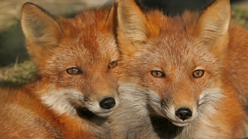 Closeup View Of Two Brown Foxes HD Fox Wallpaper