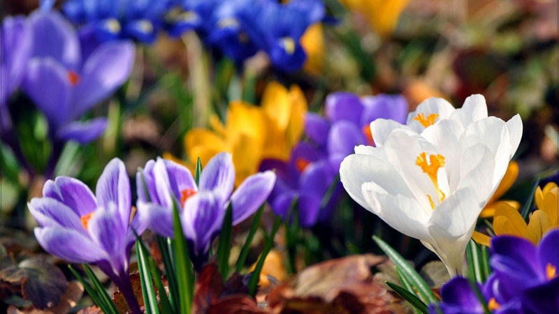 Colorful Flowers Snowdrops Plant Bloom HD Flowers Wallpaper