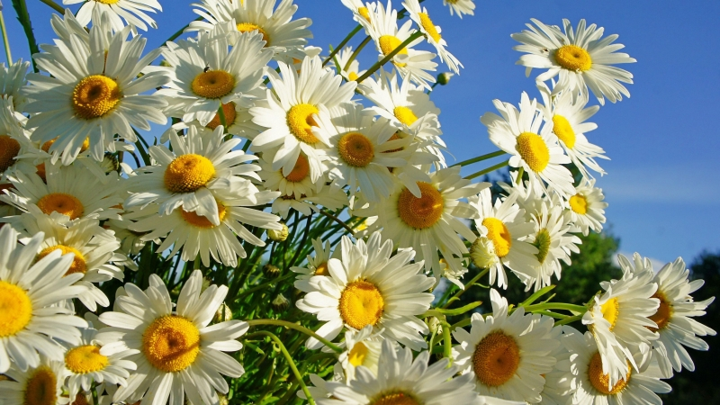 Daisies Flower Under Blue Sky 4K HD Flowers Wallpaper