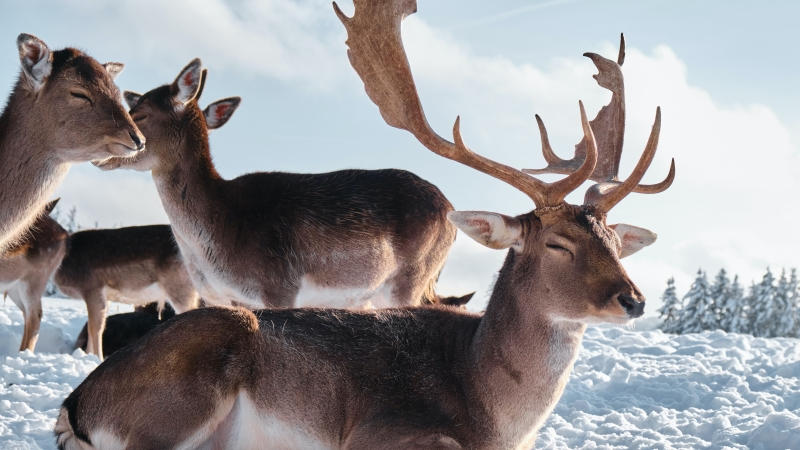 Deers In Snow Field 4K 5K HD Animals Wallpaper