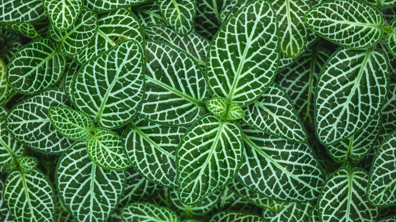 Fittonia Plant Leaves HD Nature Wallpaper