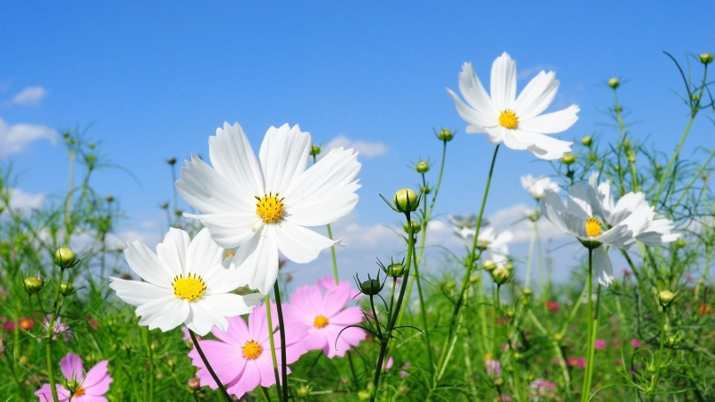 Kosmeya Flowers Fields Green Under Blue Sky HD Flowers Wallpaper
