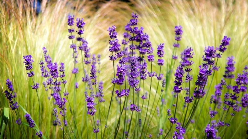Lavender Field Blur Sharpen HD Flowers Wallpaper