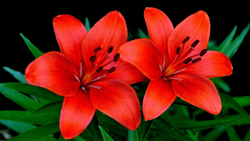 Lilies Flowers Couple Petals HD Flowers Wallpaper