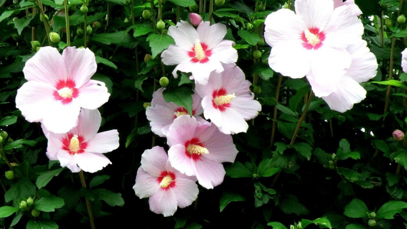Mallow Flowers Flowing High Stems Floral HD Flowers Wallpaper