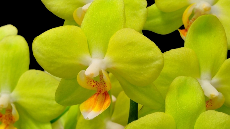 Orchid Yellow Flower Closeup Twig Black Background HD Flowers Wallpaper