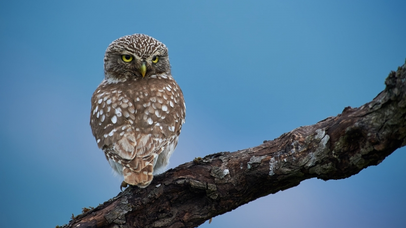 Owl Is Standing On Tree Branch In Blue Sky Background HD Owl Wallpaper