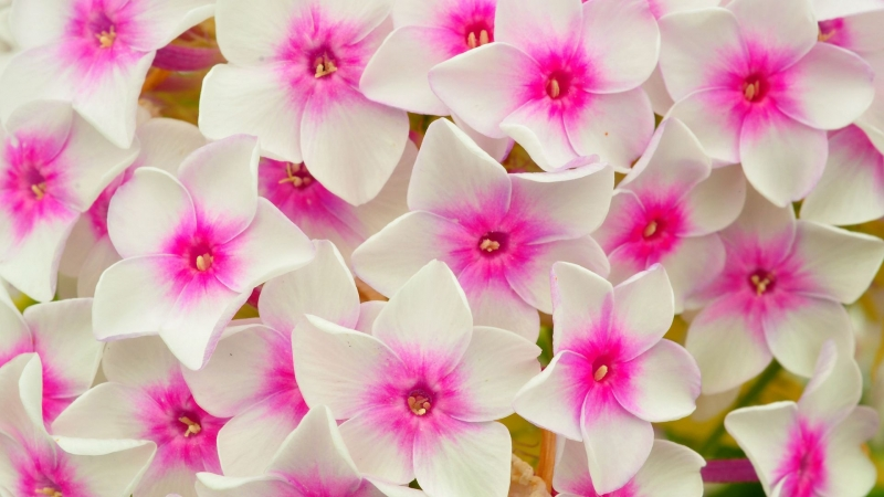 Phlox Flowers Petals Pink HD Flowers Wallpaper