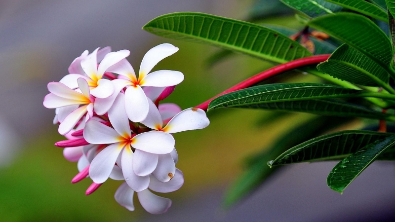 Plumeria Exotic Drop Freshness Sharpness HD Flowers Wallpaper