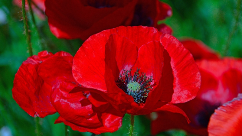 Red Poppies Flowers Floral In Green Background 4K HD Flowers Wallpaper