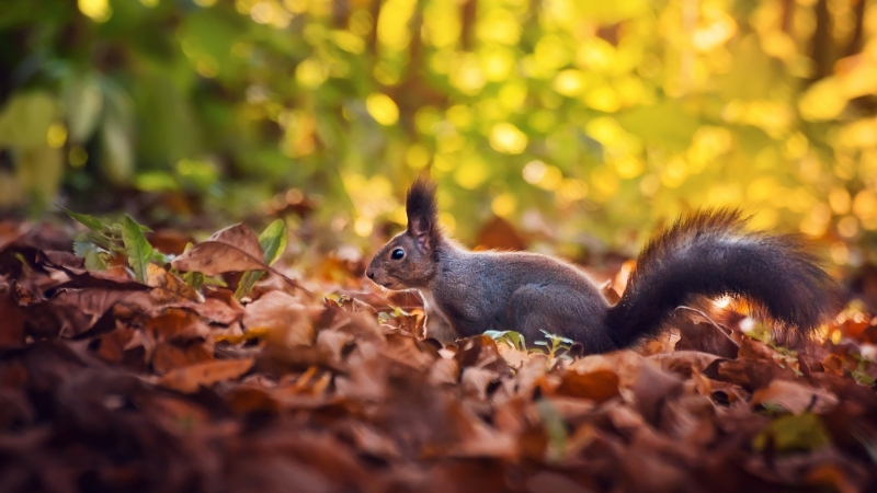Squirrel On Dry Leaves In Blur Green Bokeh Background HD Squirrel Wallpaper