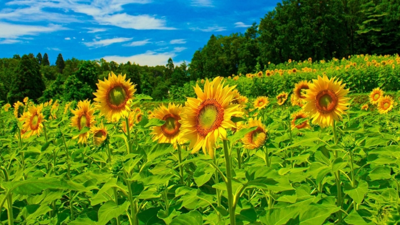 Sunflowers Field Under Sky In Trees Background Floral HD Flowers Wallpaper