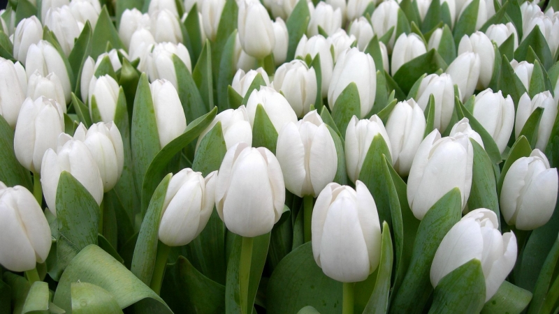 Tulips Flowers White Spring Beauty Herbs Floral HD Flowers Wallpaper