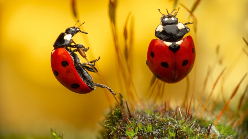 Two Red Black Ladybugs In Yellow Background On Small Dry Plants HD Animals Wallpaper