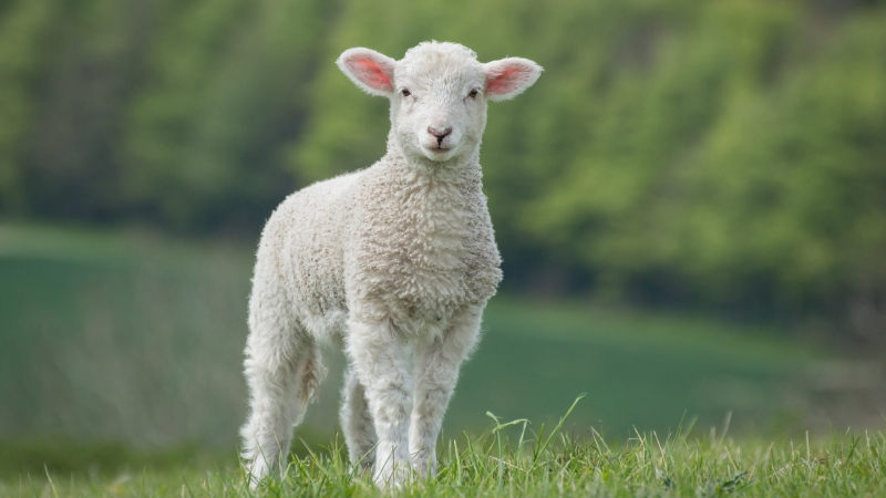 White Sheep Is Standing On Green Grass In Green Blur Forest Background HD Sheep Wallpaper