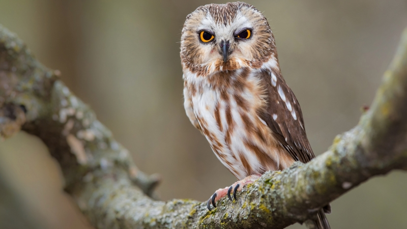 Yellow Black Eyes Brown White Owl Is Standing On Algae Covered Tree Branch 4K HD Owl Wallpaper