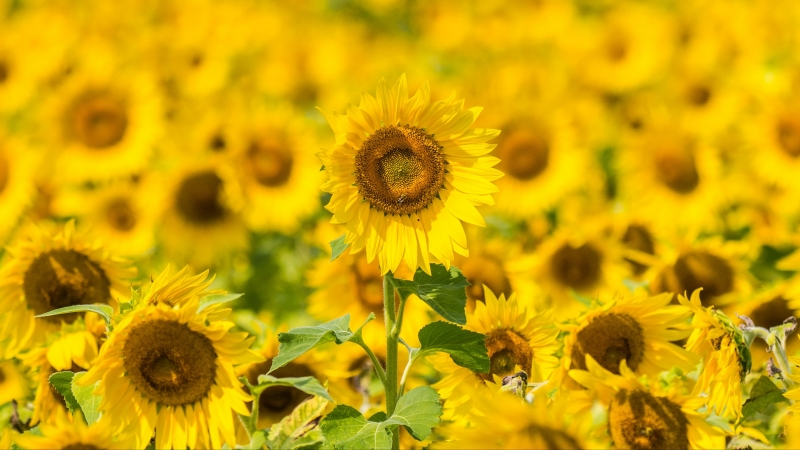 Yellow Sunflowers Field Floral 4K HD Flowers Wallpaper