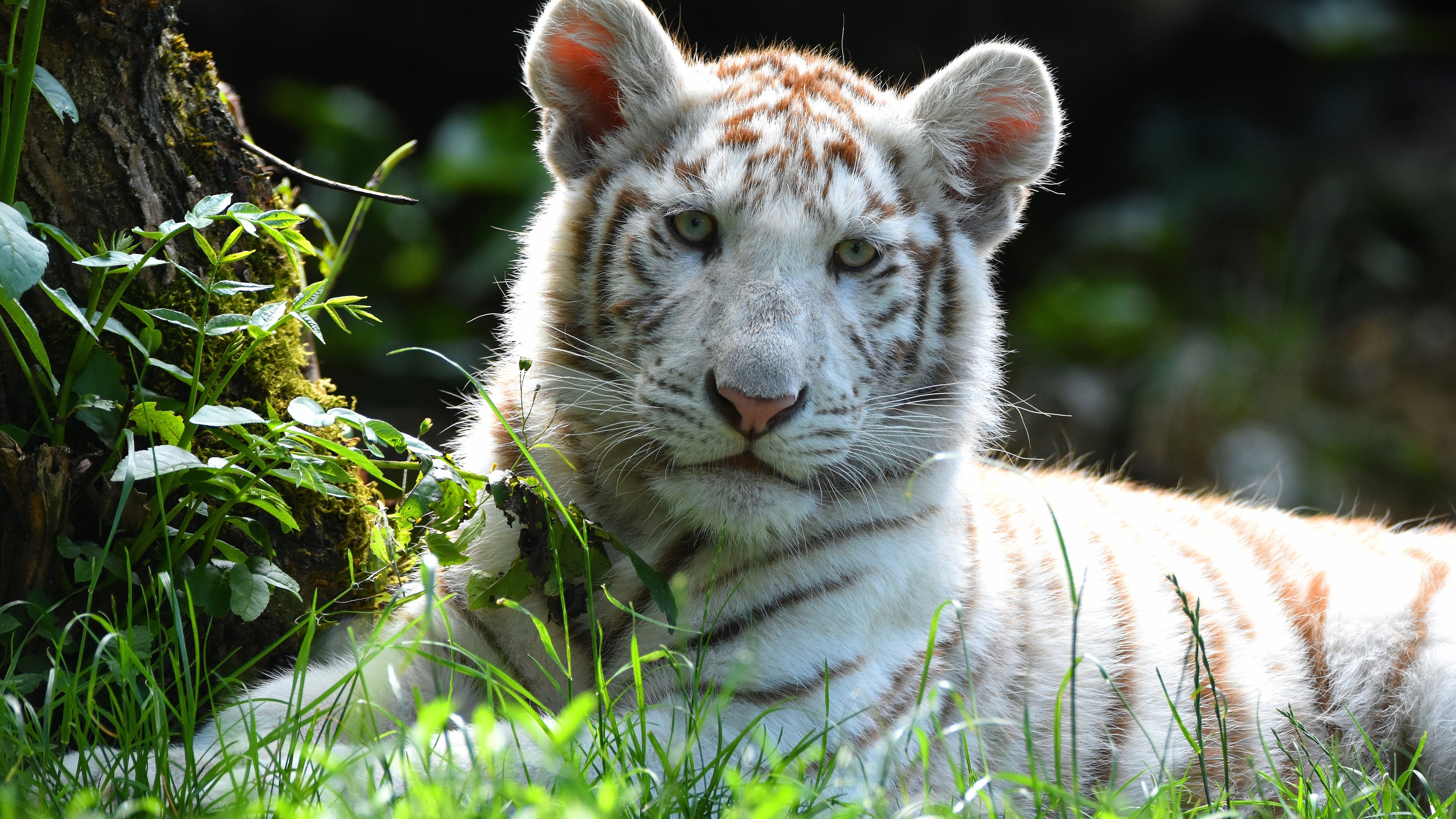 3 White Tiger Hd Wallpapers Backgrounds